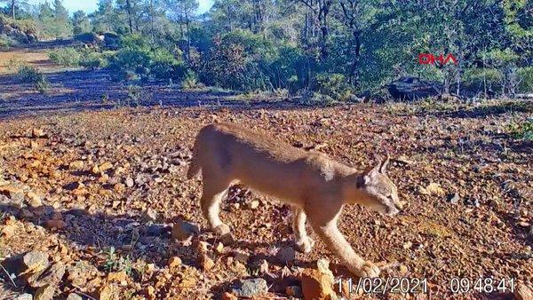 Muğla'da karakulak fotokapan tarafından görüntülendi