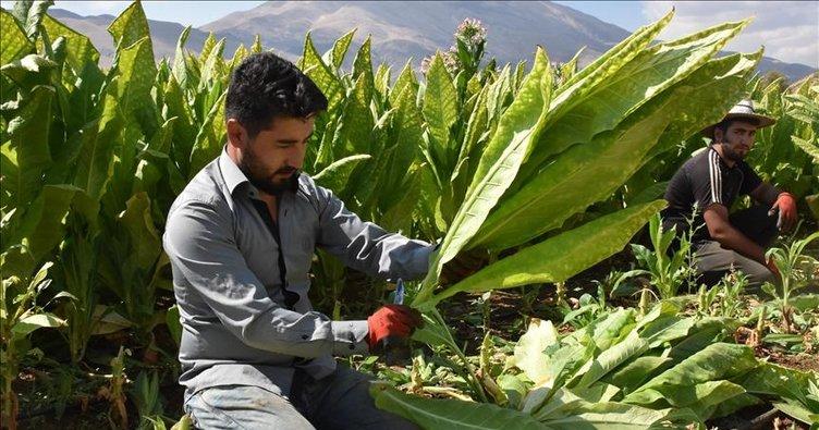 Kılıçdaroğlu yine baltayı taşa vurdu, tütün üreticileri kooperatiflere koştu