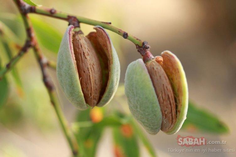 Çağla meyvesi faydaları ile şaşırtıyor! Özellikle kalbinizi korumak için bu besinleri bol bol tüketin!