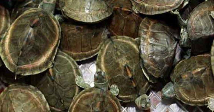 Malezya'ya kaçak getirilen 330 egzotik kaplumbağa bulundu