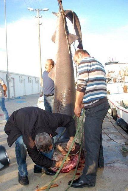 Marmara'da ağlara köpekbalığı takıldı