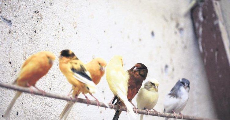 Kuşlarını güzellik yarışmalarına hazırlıyor