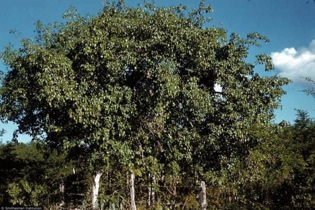 Bu ağaca dokunan sakat kalıyor