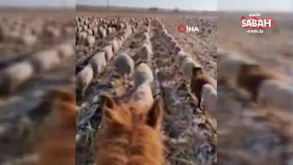 Koyun sürüsüne askeri düzende yürümeyi öğreten çobandan şaşırtıcı video!