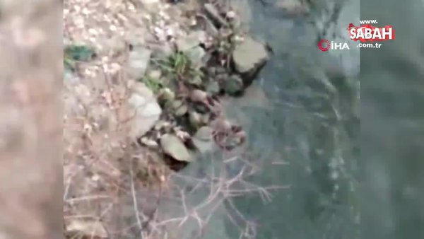 Nesli tükenmekte olan su samurları balık avlarken görüldü | Video