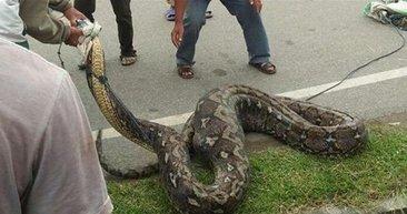 Kayıp kadın yılanın karnından çıktı!