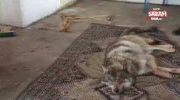 Ardahan'da donmak üzereyken kurtarılan kurt kamerada