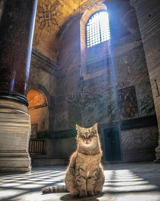 Dünyada en fazla fotoğrafı çekilen kedi! İşte Ayasofya'nın bekçisi Gli'nin sevimli halleri...