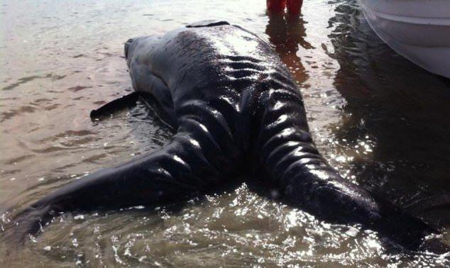 Yapışık iki gri balina bulundu