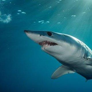 Köpek balıklarının mıknatıslardan korktukları ortaya çıktı