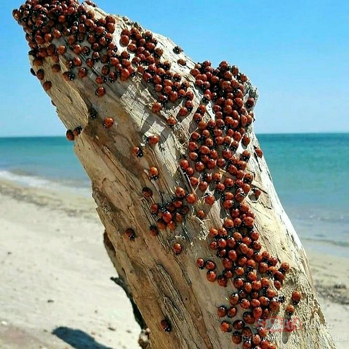 Saros Körfezi kıyıları istilaya uğradı!