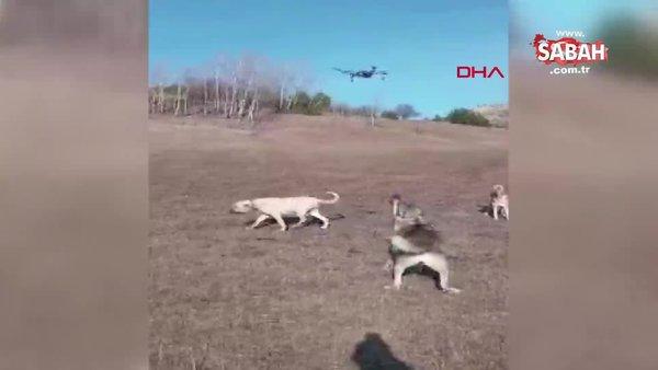 Artvin'de havada yakaladığı dronu parçalayan çaban köpeği kamerada | Video
