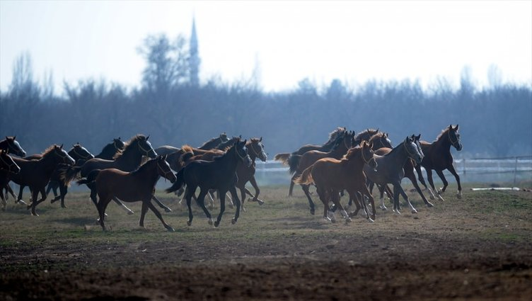 Safkan Arap atlarının yetiştirilme merkezi: Sultansuyu