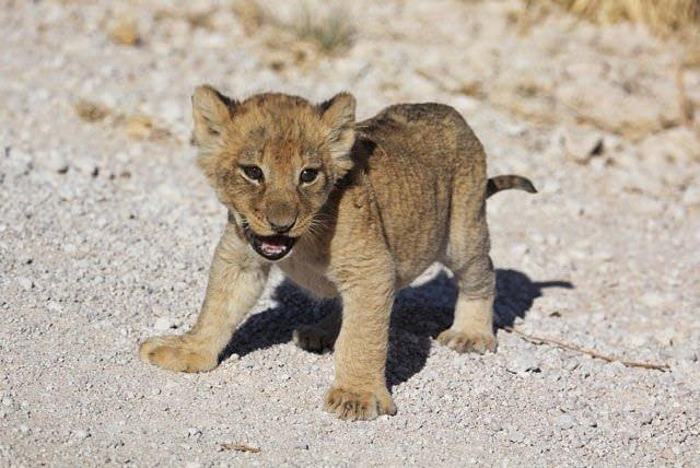 Yavru aslan yola çıkınca!