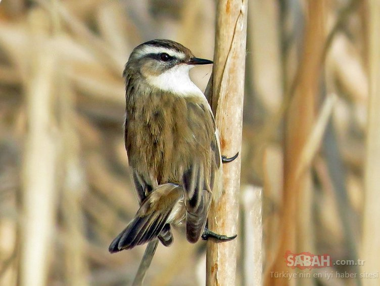 Diyarbakır'da ilk kez 'Bıyıklı Kamışçın' kuşu görüldü