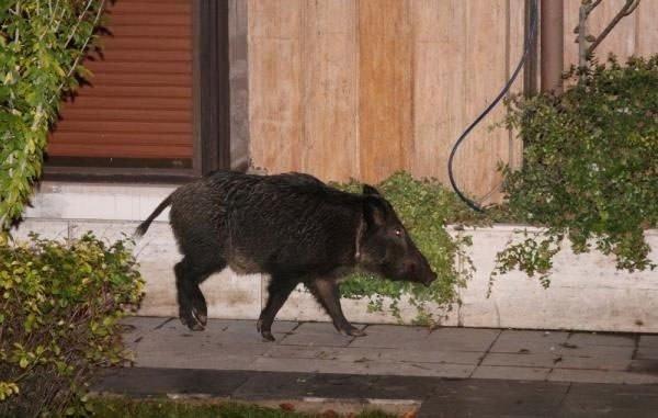 Yaban domuzu yüzerek Bebek'e gitti