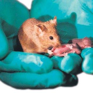 Babaya gerek kalmadı! 2 anneli farelerle tıpta devrim