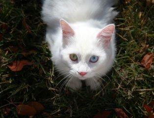 Van kedisi Su en güzel kedi seçildi