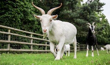 Rüyada keçi görmek ne anlama gelir?