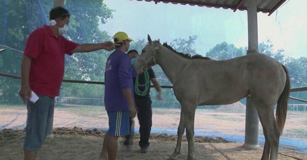 Tayland'da Afrika at vebası salgını: 200 at telef oldu