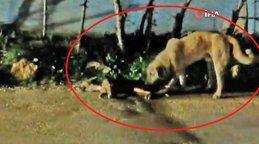 Adana'da yürek burkan görüntü! Sokak köpeği ölen arkadaşını kaldırmak için böyle uğraştı
