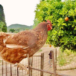 Uzmanından gezen tavuk açıklaması!