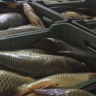 İpekyolu ilçesinde kaçak avlanmış 200 kilo sazan ele geçirildi