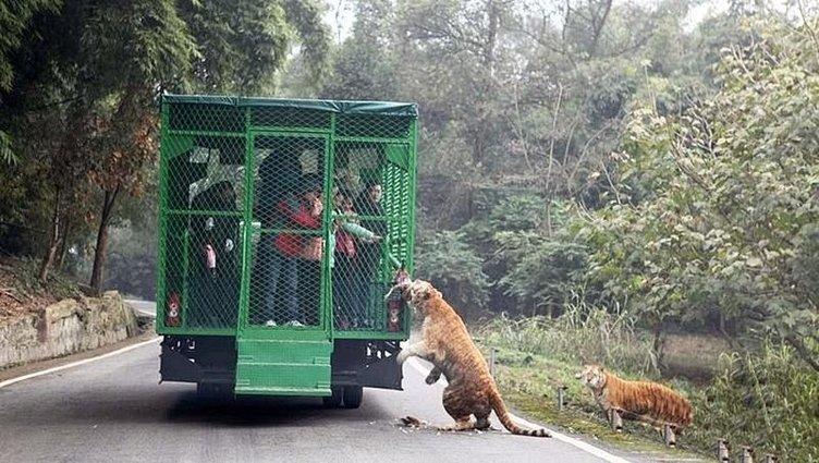 Kaplanlar turistlere saldırınca...