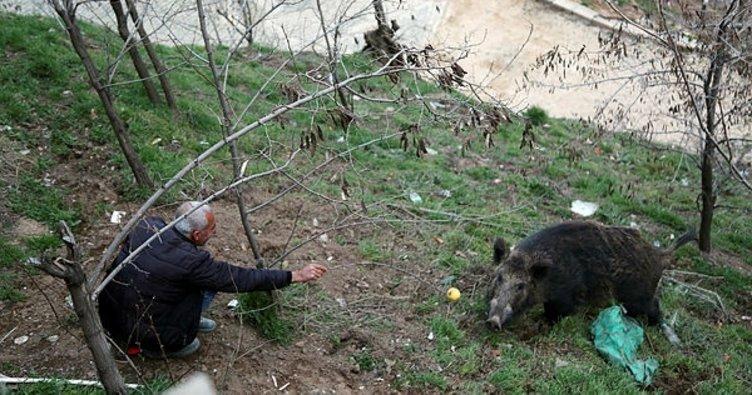 Kent merkezine inen yaban domuzunu elleriyle besliyorlar