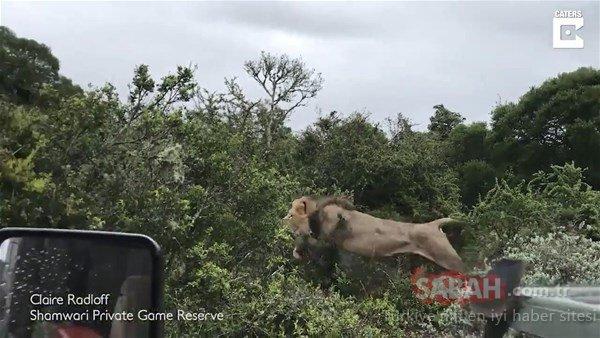 Yavrusunu aslanlara bırakmak zorunda kaldı
