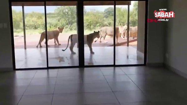 Güney Afrika'da evini aslanlar basan çift zor anlar yaşadı | Video