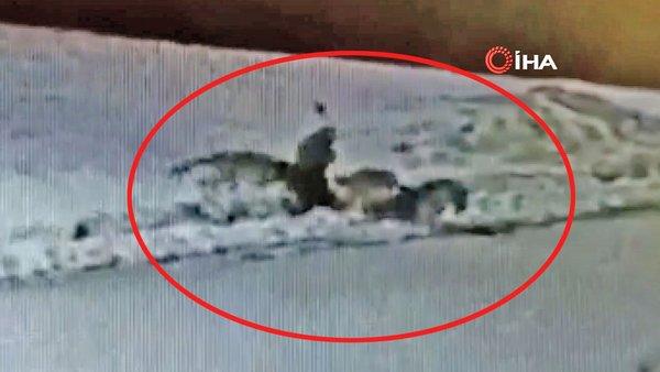 SON DAKİKA: Erzincan'da dehşet! Kurt sürüsüne saldıran sokak köpeğinin feci sonu kamerada | Video