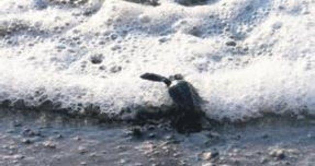 Son yavru denizle buluştu