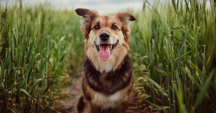 Köpekler Kaç Yıl Yaşar? Köpeklerin Ortalama Ömrü ve Yaşam Süresi Nedir?