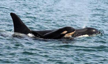 Katil balinaların karakterleri insanlar ve şempanzelerle benzer