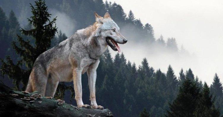 Rüyada kurt görmek nasıl yorumlanır? Rüyada siyah ve beyaz kurt görmek, kurt saldırısına uğramak neye işarettir?