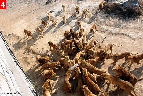 Çin'de aslanlara koyun parçalattılar