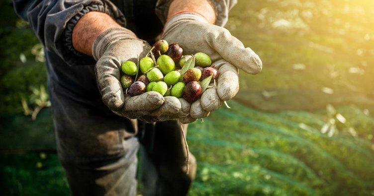Zeytinin faydaları nelerdir? İşte mucizevi bir besin olan zeytinin faydaları