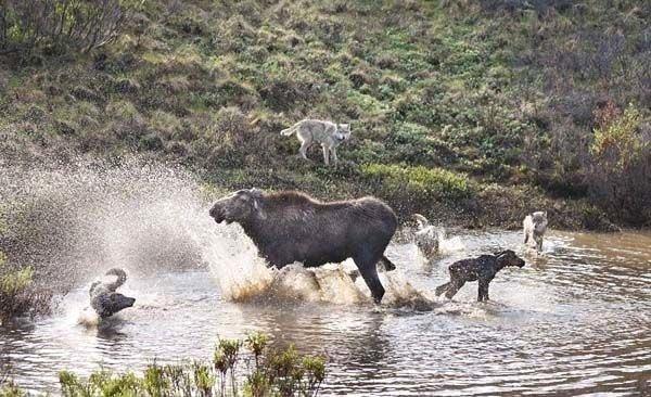 Vahşi doğada hayatta kalmak kolay değil