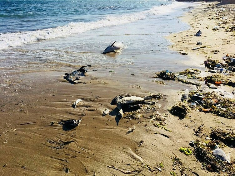 Sinop'ta kıyıya vuran yunus sayısı 32 oldu