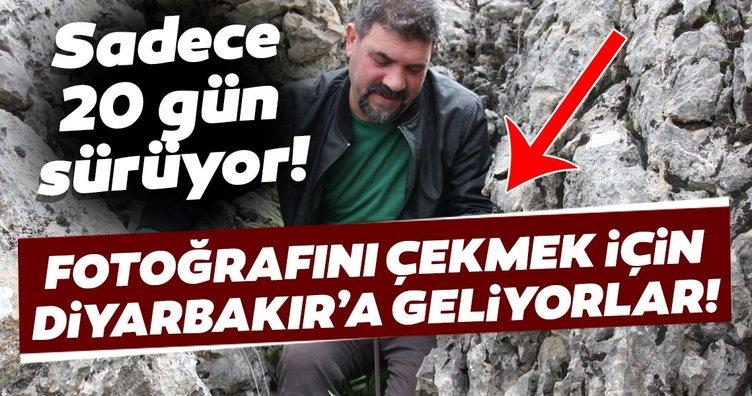 Diyarbakır'da 'ağlayan gelin' olarak bilinen ters laleler açtı