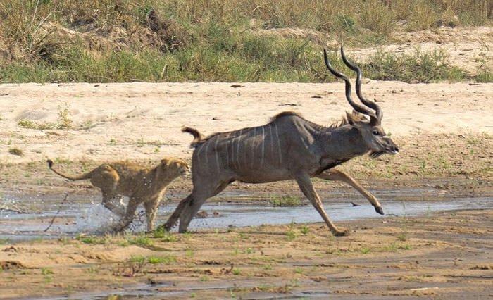 Antilop kaçamadı