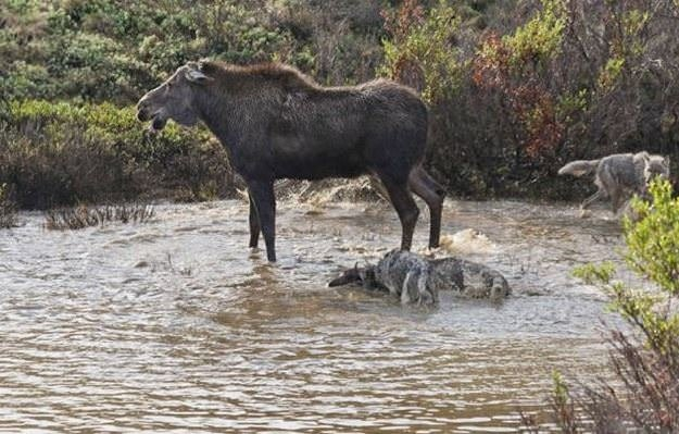 Hayvanlar aleminin müthiş anneleri