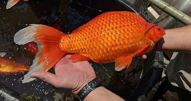 ABD'de Japon balığı uyarısı: Devasa boyutlara ulaşmıştı
