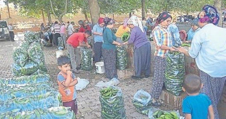 200 bin ton salatalık üretiliyor