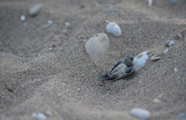 Caretta carettalar denizle buluşuyor