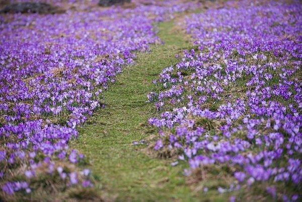 Safran çiçekleri doğaseverleri bekliyor