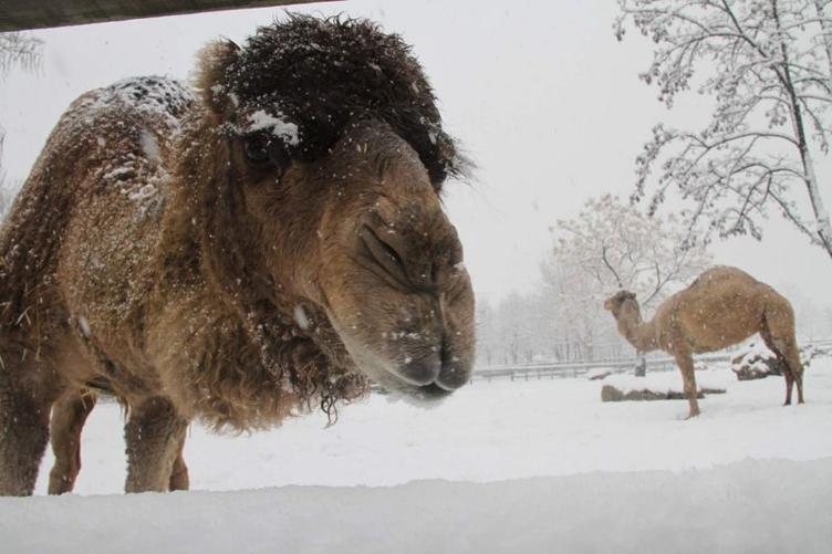 Ayı ve aslanların, karda yiyecek keyfi