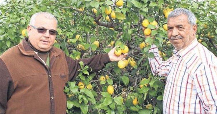 Mersin'de limon dalında 5 liradan satılıyor