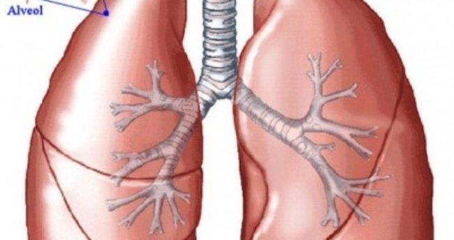 Akciğerin Görevi Nedir Akciğerin Yapısı Ve Hacmi Nelerdir Eğitim